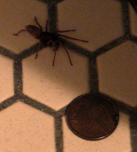 pub forums need help identifying a spider i found in my basement